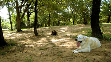 Photo of our cage-free dog boarding facility where dogs are lounging in a grove of oak trees.