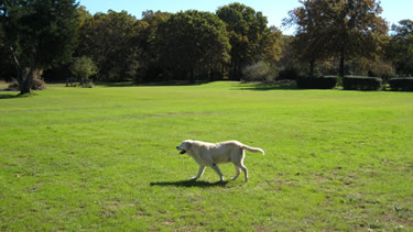 Photo of Dog taking a leash-free walk toward the pond at the dog daycare.