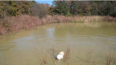 Photo of dog taking a dip in the pond at the dog daycare.