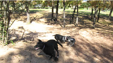 Photo of dogs playing chase at the leash-free dog daycare and dog boarding facility.