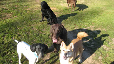 Photo of a group of dogs hanging out in the leash-free environment of the dog boarding grounds.