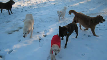 Photo of a group of dogs playing outside in the snow at the dog boarding ranch.