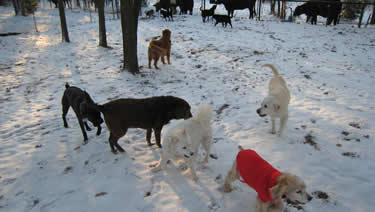 Photo of the dogs barking at the cows next to the dog daycare and dog boarding ranch.