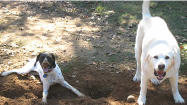 Photo of dogs digging in the dirt and playing ball at the dog daycare.